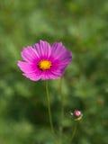 Flor cor-de-rosa do cosmos Imagem de Stock