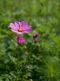 Flor cor-de-rosa do cosmos Fotos de Stock