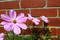 Flor cor-de-rosa do cosmos contra a parede de tijolo Fotos de Stock Royalty Free