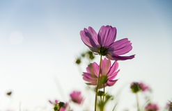 Flor cor-de-rosa do cosmos dentro com sky5 azul Imagem de Stock Royalty Free
