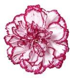 Flor cor-de-rosa do cravo imagem de stock royalty free