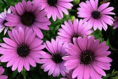 Flor cor-de-rosa do crisântemo Fotos de Stock