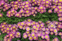 Flor cor-de-rosa do crisântemo de fundos verdes Foto de Stock Royalty Free