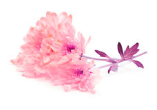 Flor cor-de-rosa do crisântemo Foto de Stock