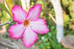 Flor cor-de-rosa do deserto Foto de Stock Royalty Free