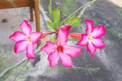 Flor cor-de-rosa do deserto Imagem de Stock Royalty Free