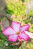 Flor cor-de-rosa do deserto Imagem de Stock