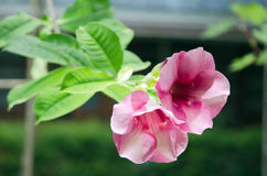 Flor cor-de-rosa do deserto cor-de-rosa Imagens de Stock