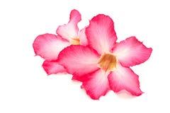 Flor cor-de-rosa do deserto isolada Fotografia de Stock