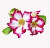 Flores cor-de-rosa do deserto vermelho e branco Foto de Stock Royalty Free