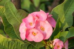 Flor cor-de-rosa do desmoul do milii do eufórbio Fotografia de Stock