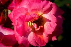 Flor cor-de-rosa do detalhe Imagens de Stock