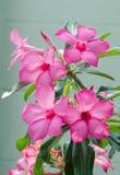 Flor cor-de-rosa do frangipani. Imagem de Stock