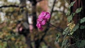Flor cor-de-rosa do gerânio vídeos de arquivo