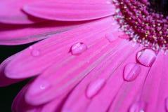 Flor cor-de-rosa do Gerbera Fotografia de Stock