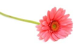 Flor cor-de-rosa do Gerbera Imagens de Stock Royalty Free