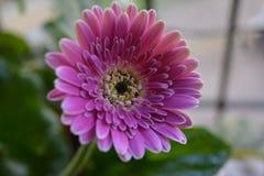 Flor cor-de-rosa do Gerbera imagens de stock