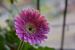 Flor cor-de-rosa do Gerbera Fotos de Stock