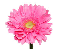Flor cor-de-rosa do Gerbera Foto de Stock Royalty Free