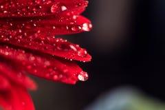 Flor cor-de-rosa do gerbera com gota da água perto acima imagens de stock