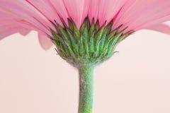 Flor cor-de-rosa do gerbera com haste verde fotos de stock