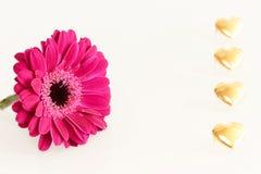 Flor cor-de-rosa do gerbera e corações dourados Imagens de Stock