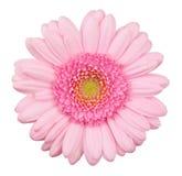 Flor cor-de-rosa do gerbera isolada Fotos de Stock Royalty Free