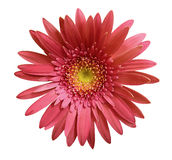 A flor cor-de-rosa do gerbera no branco isolou o fundo com trajeto de grampeamento closeup Nenhumas sombras Para o projeto Foto de Stock Royalty Free