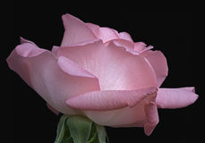Flor cor-de-rosa do híbrido Fotos de Stock Royalty Free