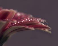 Flor cor-de-rosa do herbera Fotografia de Stock