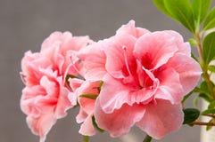 Flor cor-de-rosa do hibiscus com folhas verdes foto de stock