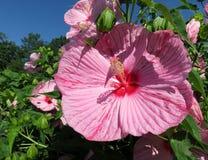 Flor cor-de-rosa do hibiscus do verão imagem de stock