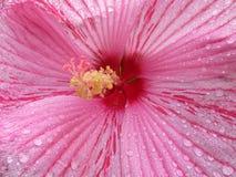 Flor cor-de-rosa do hibiscus do verão na chuva imagens de stock