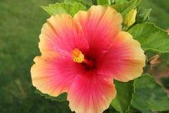 Flor cor-de-rosa do hibiscus - hibiscus rosa-sinensis Foto de Stock Royalty Free