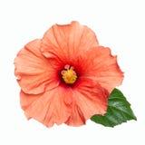 Flor cor-de-rosa do hibiscus isolada Foto de Stock Royalty Free