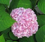 Flor cor-de-rosa do hydrangea fotografia de stock