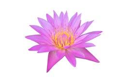 Flor cor-de-rosa do lírio de água ou flor de lótus isolada no fundo branco Imagem de Stock Royalty Free