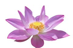 Flor cor-de-rosa do lírio de água ou flor de lótus isolada no fundo branco Imagens de Stock