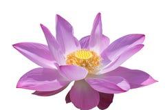 Flor cor-de-rosa do lírio de água ou flor de lótus isolada no fundo branco Fotos de Stock Royalty Free