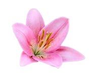 Flor cor-de-rosa do lírio. Imagem de Stock