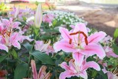 Flor cor-de-rosa do lírio Foto de Stock