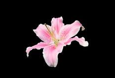 Flor cor-de-rosa do lírio no fundo preto Imagens de Stock
