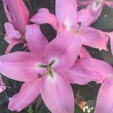 Flor cor-de-rosa do l?rio imagem de stock