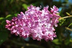 Flor cor-de-rosa do lilás Fotos de Stock Royalty Free