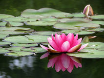 Flor cor-de-rosa do lírio Imagem de Stock