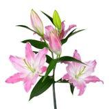 Flor cor-de-rosa do lírio Foto de Stock Royalty Free