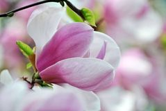 Flor cor-de-rosa do magnolia fotografia de stock