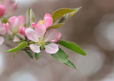 Flor cor-de-rosa do magnolia foto de stock