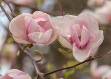 Flor cor-de-rosa do magnolia fotografia de stock royalty free