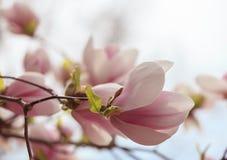 Flor cor-de-rosa do magnolia imagem de stock